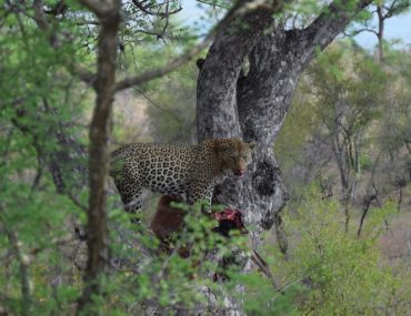 leopard eating an impala