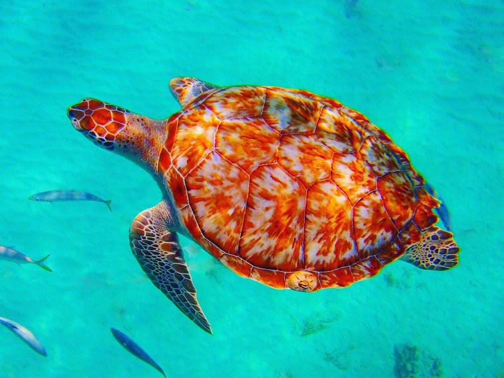 turtle barbados